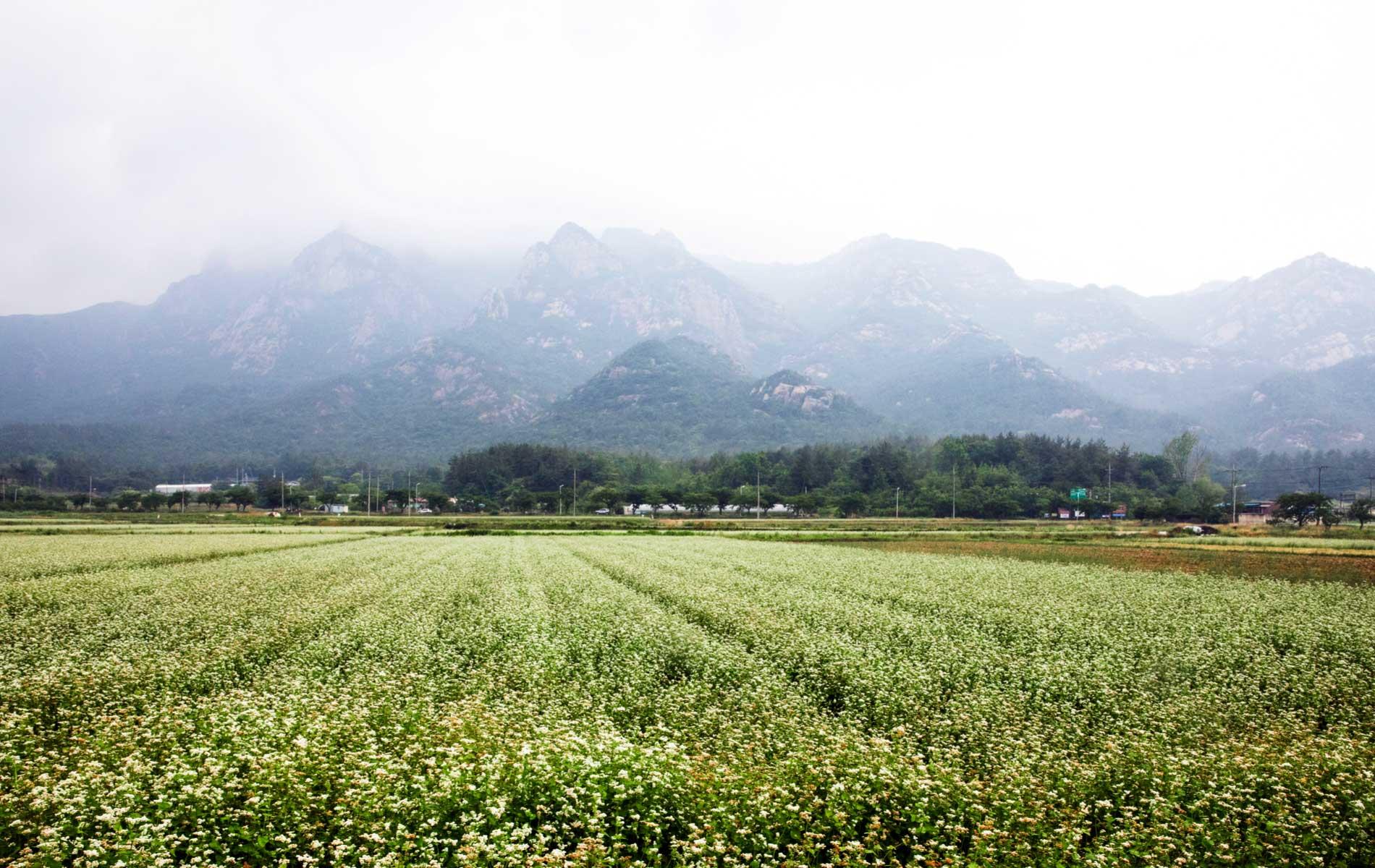 Buckwheat_field.jpg